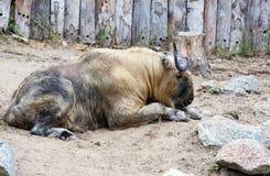 扭角羚 免版税库存图片