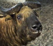扭角羚Mishmi羚牛属TAXICOLOR 免版税库存图片