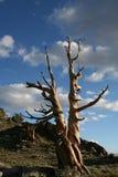 扭转的刺毛锥体杉木 图库摄影