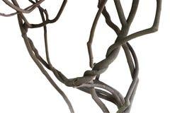 扭转的密林藤,在白色背景隔绝的树枝 图库摄影