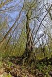 扭转的树在森林里 免版税库存照片