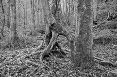 扭转的树干在有根的冬天灰色有薄雾的森林地 免版税库存照片