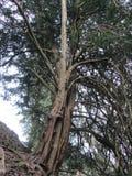 扭转的树 免版税库存照片