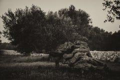 扭转的橄榄树 免版税库存图片