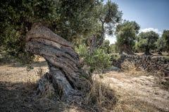扭转的橄榄树 免版税图库摄影