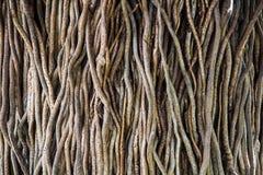 扭转的热带树根源背景 免版税库存照片