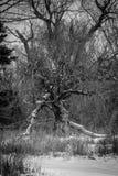 扭转的老结构树 免版税库存照片