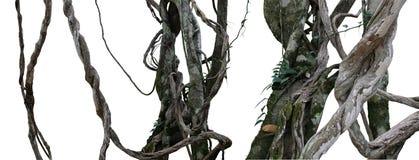 扭转的野生与青苔的地衣的藤本植物杂乱密林藤植物 免版税库存照片