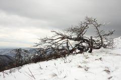 扭转的结冰的结霜的死的树 库存照片