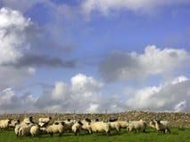 扮演黑人绵羊牧群在石墙,英国,英国,欧洲前面的 免版税图库摄影