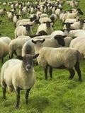 扮演黑人绵羊,英国,英国,欧洲牧群  免版税库存照片