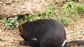 扯拽与袋鼠集会的塔斯马尼亚岛恶魔 影视素材