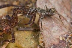扯拽被麻痹的蜘蛛的蚂蚁黑色 免版税库存图片