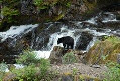 寻找三文鱼的黑熊在Of Whales王子在阿拉斯加 免版税库存图片