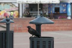寻找为在垃圾箱的食物的鸟 免版税库存图片