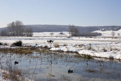 寻找区域的鸭子 免版税库存照片