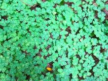 寻找四棵叶子三叶草 库存照片