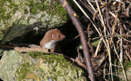 寻找在下木的狡猾的人鼬nivalis食物 免版税库存图片