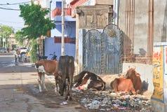 寻找在乔德普尔城,印度街道上的母牛食物  库存图片