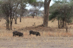 寻找在大草原的狮子warthogs 免版税库存图片