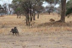寻找在大草原的狮子warthogs 图库摄影