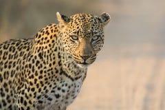 寻找在柔光的豹子女性特写镜头危险 免版税库存图片