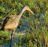 寻找在沼泽地的水鸟 免版税库存图片
