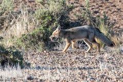 寻找在海滩的灰狐狸一只老鼠在巴塔哥尼亚 免版税库存照片