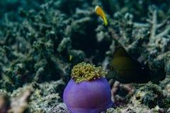 寻找在美好的珊瑚附近的热带鱼在印度洋在马尔代夫 免版税图库摄影