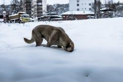 寻找在雪的狗食物 免版税库存照片