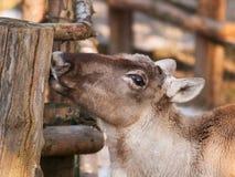 寻找地衣-驯鹿属tarandus fennicus的芬兰森林驯鹿 库存照片
