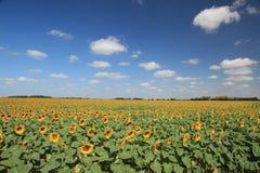 寻找太阳的向日葵在蓝天下 库存图片