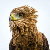 寻找它的牺牲者的老鹰 免版税库存照片