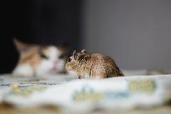 寻找对在桌上的沙鼠老鼠的猫 是戒备 免版税图库摄影