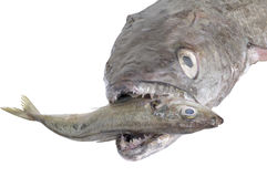 寻找小鱼的无须鳕特写镜头  图库摄影
