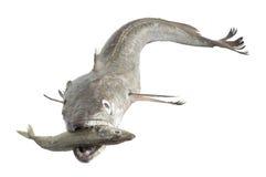 寻找小鱼的无须鳕 免版税库存图片