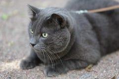 寻找幼小英国灰色的猫户外 免版税库存图片