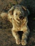 寻找朋友的无家可归的狗 图库摄影