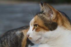 寻找某事的泰国猫 免版税库存图片