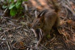 寻找核桃赠送品的一只红松鼠的特写镜头 免版税库存图片