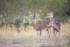 寻找母鹿的三个大型装配架 免版税库存照片