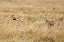 寻找汤姆生瞪羚的猎豹 免版税库存图片