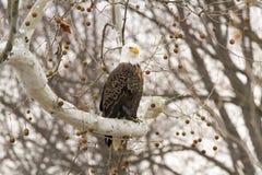 寻找牺牲者的白头鹰 免版税库存图片