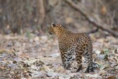 寻找牺牲者的豹子 免版税库存图片