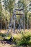 寻找的鹿立场在北瑞典 库存图片