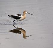 寻找美国长嘴上弯的长脚鸟 库存图片