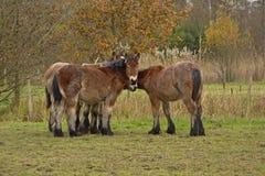 寻找舒适的四匹幼小马在一个冷的冬日 免版税库存照片