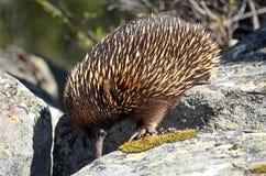 寻找蚂蚁的澳大利亚针鼹 免版税库存图片