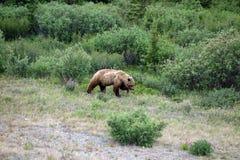 寻找食物春天的一头大北美灰熊 免版税库存图片