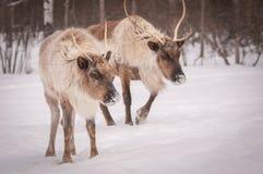 寻找食物的北美驯鹿在冬天 免版税库存图片